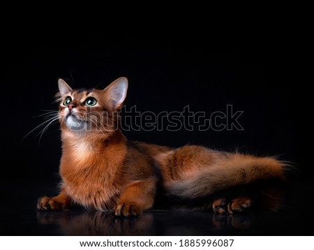 Full body shot of pedigree Somali cat isolated on black background indoors in studio. Zdjęcia stock ©