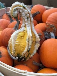 Full body view of crook neck gourd / squash resting on a bushel of orange pumpkins. Squash looks like a swan. Humour in nature.