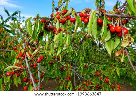 Full branches of cherry tree . Cherry Season in Full Swing , Tasty fruits on the tree