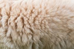 Full frame of beige dog fur. Animal fluffy coat texture