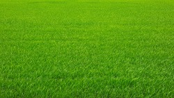 full frame of green rice field