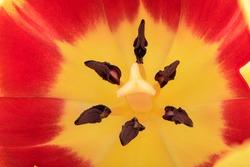 Full frame of tulip flower. Details of inner tulip flower with pistil and stamen. Close-up shot of a tulip.
