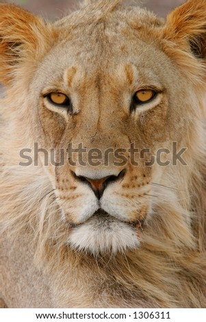 Full frame portrait of a young male African lion (Panthera leo), Kalahari, South Africa