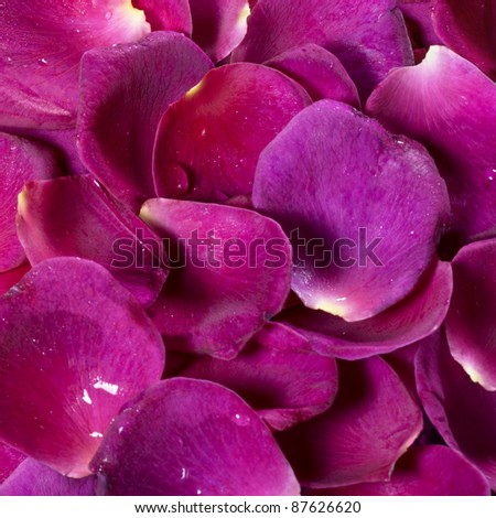 full frame studio photography showing lots of intense violet rose petals