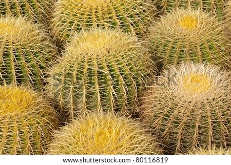 Full frame take of  a barrel cactus known as mother in law cushion