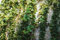 Full frame textured natural background of a wall of green ivy with fresh shoots and mature leaves. Betel Leaf. Daun Sirih. Tumbuhan Sirih