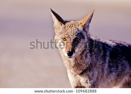 Full front view portrait of a Coyote
