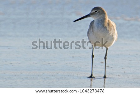 Full frontal close up of American short-billed dowitcher sandpiper to right, sunlit from side facing left, standing on the blue green surf of Florida's Gulf Coast with room for copy to left. #1043273476