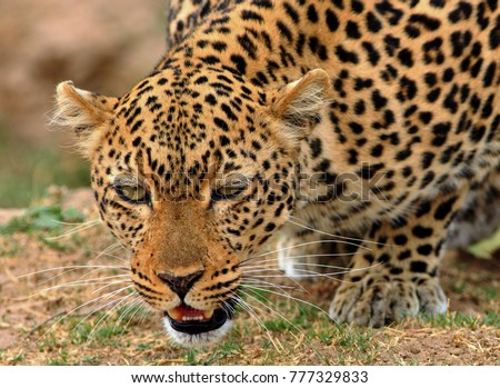 Full frontal view of a wild african leopard (panthera pardus) getting ready to attack in south Luangwa national aprk, zambia #777329833