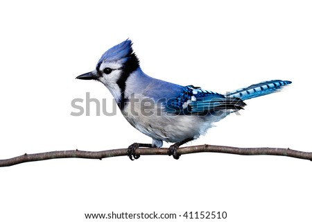 full horizontal view of bluejay perched on a branch. white background
