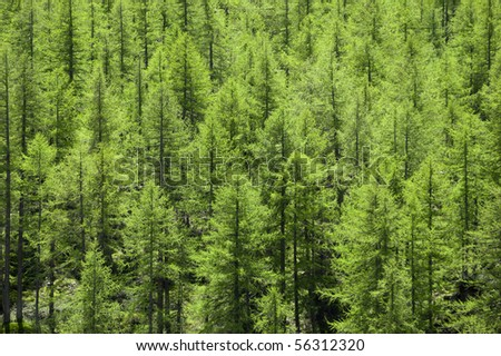 Full image of a coniferous trees in the forest