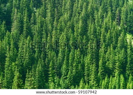 Full image of coniferous trees - texture