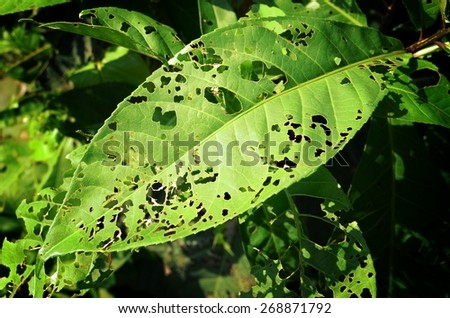 Full Leaf with Holes, Eaten by Pests.  #268871792