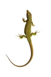 full length common green lizard isolated on white background ( Lacerta viridis )