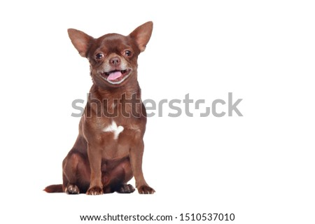 Full length picture of a brown chihuahua dog in a white studio
