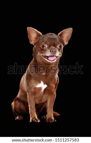 Full length picture of a smiling chihuahua isolated on black