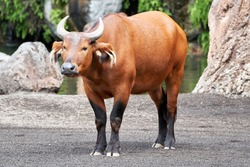 full-length portrait of a beautiful red forest buffalo in its natural environment recreated in a zoo in valencia spain