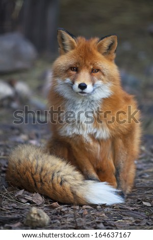 Full length portrait of a posing red fox male in natural environment. The beautiful forest wild beast. Smart look of a dodgy vulpine. Eye to eye with one of the most grace wood inhabitant. #164637167