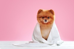 Full length portrait of a spitz wrapped in a towel against pink background
