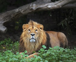 Full length portrait of a young Asian lion, lying on the grass. King of beasts. Wild beauty of the biggest cat. The most dangerous and mighty predator of the world. Eye to eye contact.