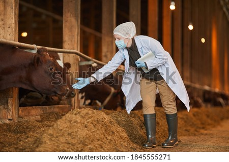 Full length portrait of female veterinarian wearing mask at farm while inspecting cows and livestock Foto stock ©