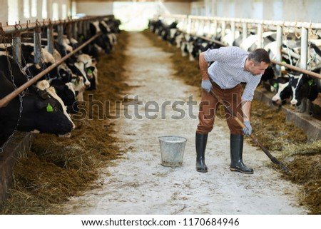 Full length portrait of modern farm worker cleaning up in cow barn, copy space