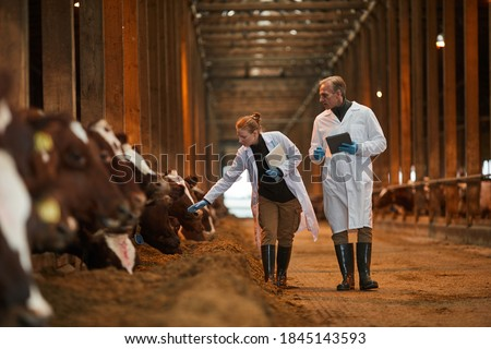Full length portrait of two veterinarians walking towards camera while inspecting cows at dairy farm, copy space