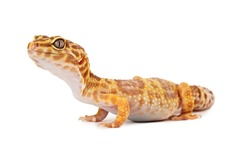 full length side view of a Leopard Gecko isolated on a white background