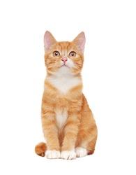 Full length sitting ginger cat