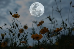 Full moon with silhouette cosmos flower garden at night.