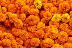 full of Mexican Marigold flower