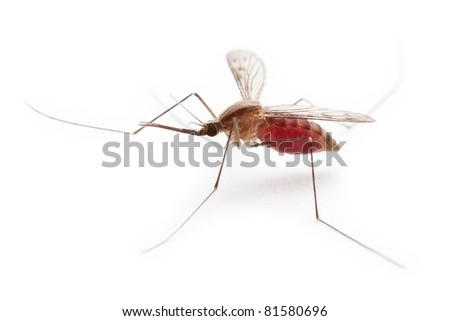 Full of red blood gnat or mosquito pest insect macro