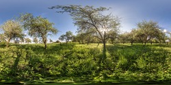 full seamless spherical panorama 360 degrees angle view in blooming apple garden orchard with rays of evening sun through the branches in equirectangular projection, VR content