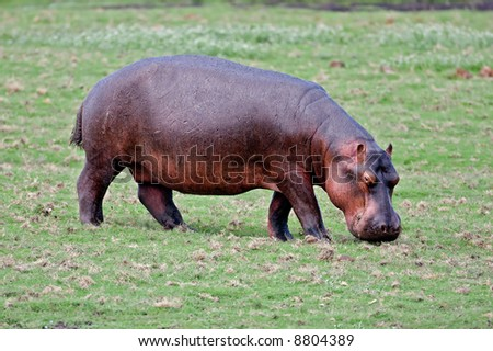 Full side-view of Hippopotamus feeding on green grassland; hippopotamus amphibius; South Africa