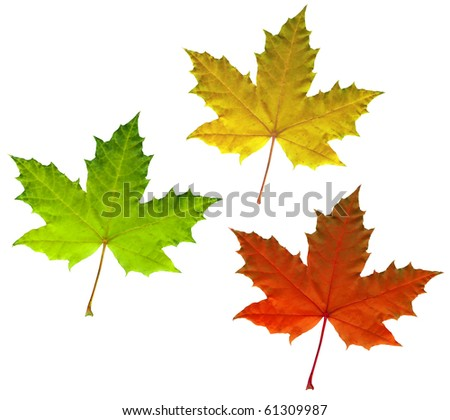 Full-size photo of color maple autumn leaves isolated on white background