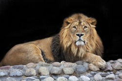 Full-size portrait of a young Asian lion, isolated on black background. The King of beasts with splendid mane. Wild beauty of the biggest cat. The most dangerous and mighty predator of the world.