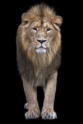 Full-size portrait of a young Asian lion on black background. King of beasts with splendid mane. Wild beauty of the biggest cat. The most dangerous and mighty predator of the world.