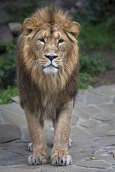 Full-size portrait of a young Asian lion. Vertical image. The King of beasts with splendid mane. Wild beauty of the biggest cat. The most dangerous and mighty predator of the world
