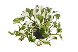 Full tropical 'Epipremnum Aureum N'Joy' pothos houseplant with white and green variegated leaves in flower pot isolated on white background