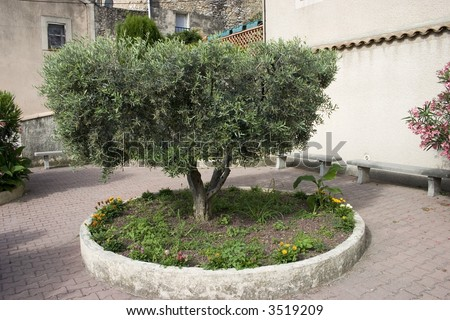 Full view of a pruned olive tree in an empty, French courtyard. - stock photo
