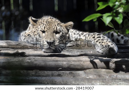Full view of young adult leopard in a zoo.