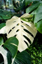 Full white variegated leaf of the Monstera Albo half moon Plant
