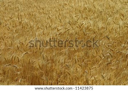 Full yellow corn field in summer