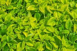 Fullframe background texture of natural light green leaves at King Rama 9 Park, Bangkok Thailand