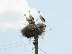 Fully fledged young white storks take a break in the nest before next flight. Storks are preparing for migration