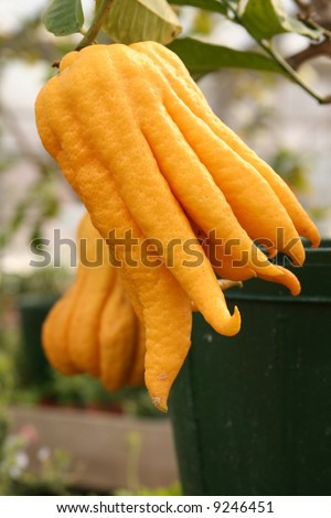 Fully ripe Fingered Citron or Buddha Hands. The rind can be candied & in Asia, it is used to freshen or scent rooms. - stock photo