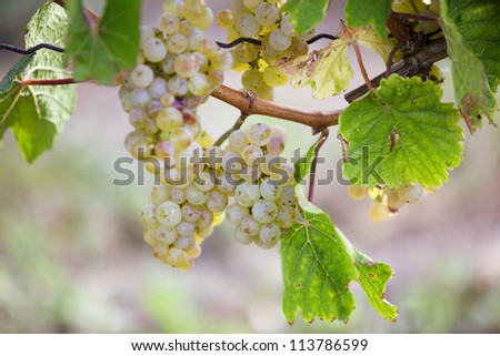 Fully ripe white Grapes in vineyard in late summer