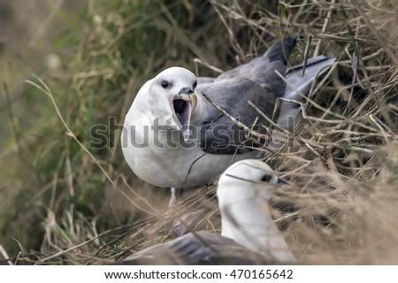 Fulmar, Fulmarus glacialis, sitting on a cliff #470165642