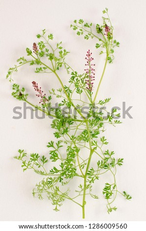 Fumitory botanical board