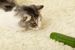 fun fluffy cat plays with cucumber on white fur